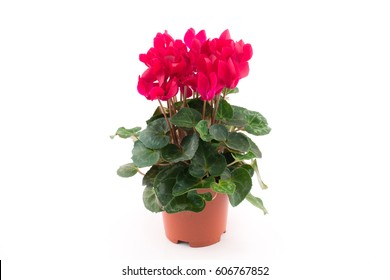 Beautiful and bright cyclamen, background, flowers and pots, spring plant, ? nice gift