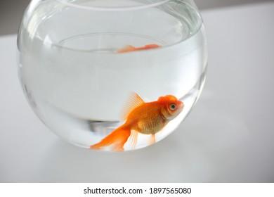 Beautiful bright goldfish in aquarium on table
