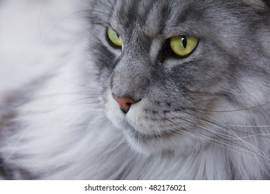 Beautiful bright green eyed silver colored Maine Coon cat