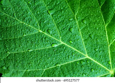 Beautiful bright green leaf of foxglove tree close up with drops of rain water. Courtyard tree the Chinese princess (Paulownia tomentosa).