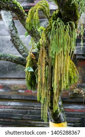 Beautiful bright green parasite liana hanging from the tree in Balinese holy water tempple Tirta Empul in Tampaksiring, Bali, Indonesia
