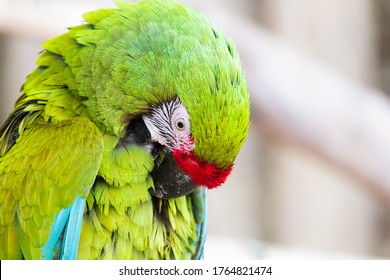 A beautiful bright green-colored macaw parrot is cleaning its feathers.