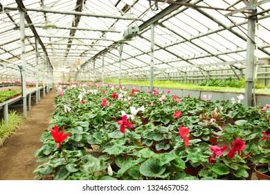 Beautiful bright juicy cyclamen flowers in flower pots in greenhouse. Growing flowers.