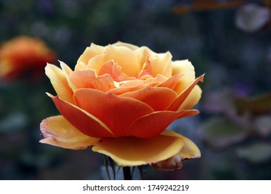 Schöne hellorangefarbene Rose