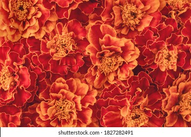 Beautiful bright orange and dark red blooming marigold flowers background. Summer or autumn pattern backdrop. Floral greeting card.