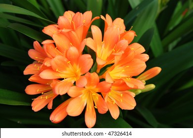 beautiful bright  orange flower called a Clivia