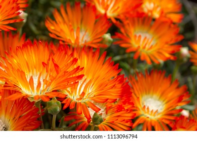Beautiful bright  Orange Vygie or Orange Ice Plant flowers-  a succulent from the Lampranthus Aureus succulent family.