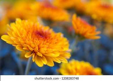 Beautiful bright orange and yellow chrysanthemum flower on the background of other chrysanthemum flowers (shallow DOF, selective focus on the chrysanthemum petals)