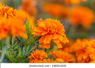 Beautiful bright orange and yellow chrysanthemum flower on the background of other chrysanthemum flowers (shallow DOF, selective focus on the chrysanthemum petals