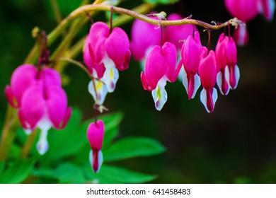 beautiful bright pink bleeding heart flowers