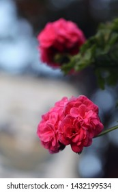 Beautiful bright pink flowers that ball shapred. In this photo you can also see some leaves and stems of the flower. The background is really soft and has lovely bokeh. Closeup up color photo.