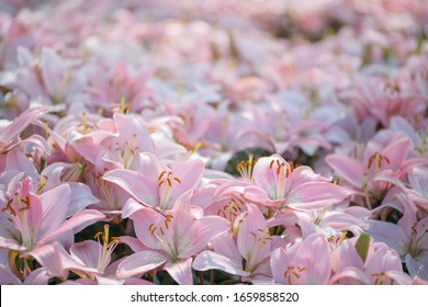 Beautiful bright pink lilies growing at flower field