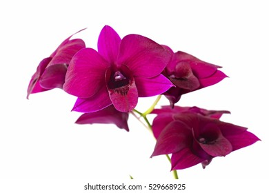 Orchid flower meaning images stock photos vectors shutterstock beautiful bright pink purple hanging dendrobium phalaenopsis orchid plant flower branch isolated on with space for mightylinksfo