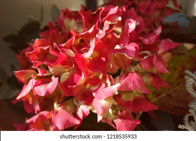 Beautiful bright pink, soft yellow hydrangea flowers blooming in autumn sun light. Some hydrangeas in the bouquet have old petals, brown aging spot with dry texture in places. Hydrangea macrophylla.