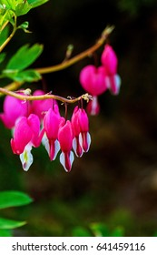 beautiful bright pink and white bleeding heart flowers