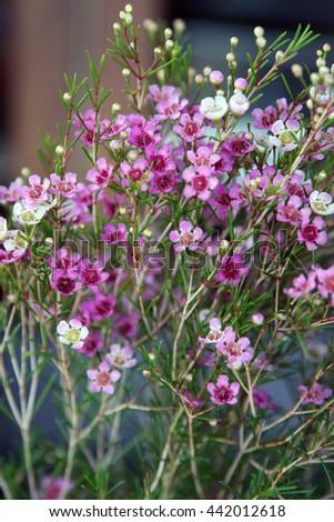 Beautiful Bright Pink White Wax Flowers Stock Photo Edit Now
