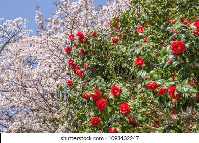 Beautiful, bright red camellia flowers and pink sakura cherry blossoms on large trees set against a perfect blue sky in the spring time in Japan.