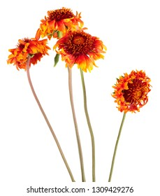 Beautiful bright red flower Gaillardia coahuilensis, Family Asteraceae on white isolated background