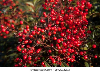 Beautiful bright red Heavenly bamboo berries on branch. Nandina domestica bush on a sunny winter day