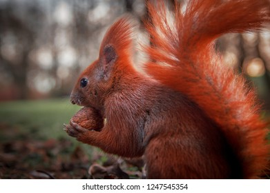 Beautiful bright red squirrel holding a nut. Close-up
