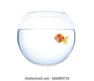 Beautiful bright small goldfish in round glass aquarium isolated on white