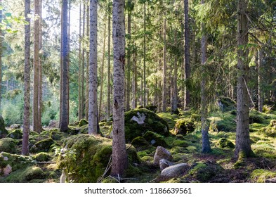 Beautiful bright spruce tree forest with mossgrown ground