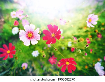 Beautiful bright summer spring floral natural background. Pink and magenta Cosmos flowers in grass outdoors close-up in nature. Soft selective focus.