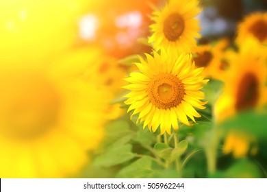 Beautiful bright sunflowers at sunflower field.