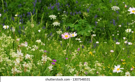 A lot of beautiful bright sunlit pink alpine flowers Astrantia Major or Great Masterwort growing among the grass at the foot of the mountains in the summer and lighted by sun