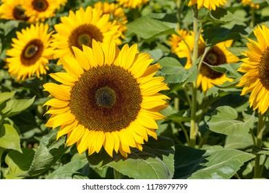 Beautiful bright yellow blooming sunflower close up