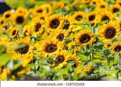 Beautiful bright yellow blooming sunflower, farm field.