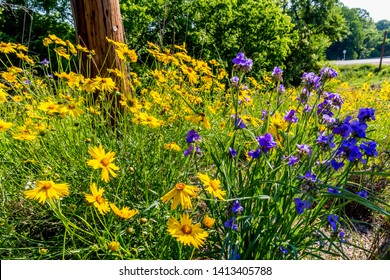 Beautiful Bright Yellow Lanceleaf Coresopsis (tickseed or sand) with some Purple Prairie Spiderwort Wildflowers Growing Wild in a Field.