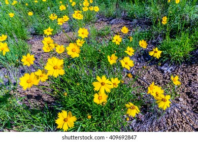Beautiful Bright Yellow Lanceleaf Coresopsis (tickseed or sand) Wildflowers Growing Wild in a Field.