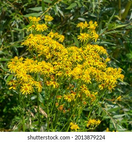 Beautiful bright yellow ragwort flowers of the family jacobaea vulgaris.
