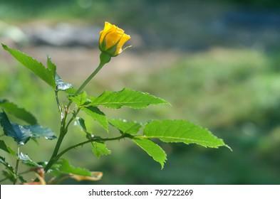 Beautiful bright yellow rose flower growing in sunny summer garden