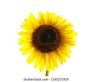 Beautiful bright yellow sunflower on white background