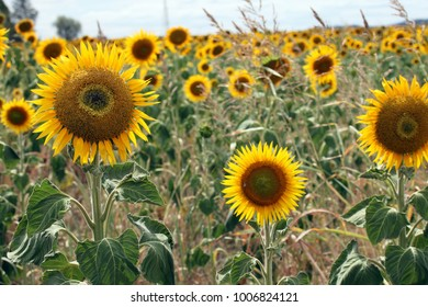 Beautiful bright yellow sunflowers in a large field in farming country near Toowoomba, Queensland, Australia