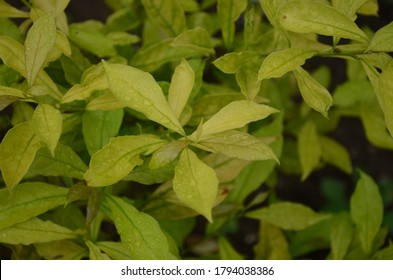 Beautiful bright yellowish green coloured leaves of Brunfelsia pauciflora also known as yesterday today and tomorrow. Healthy, fresh and pretty leaves.