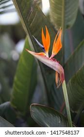 Beautiful bright-colored strelitzia reginae flower (bird of paradise) photographed in the island of Madeira, Portugal. Strelitzias are symbols of Madeira. In this photo you can see the flower & leaves