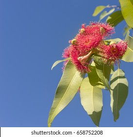 Beautiful brilliant red eucalyptus flowers of Australian native gum tree with green gum leaves against clear blue sky background