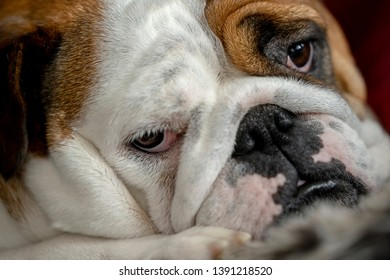 Beautiful British Bulldog Lying Down and Relaxing