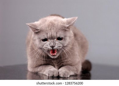 Beautiful British cat expresses emotions.