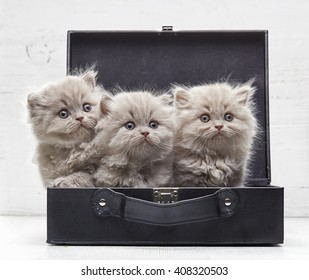 beautiful british long hair kittens in a bag