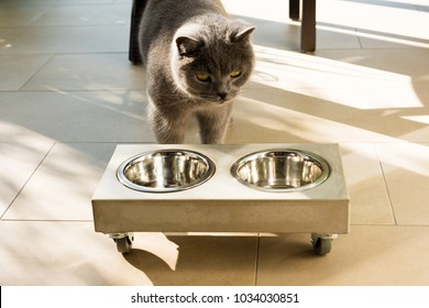 Beautiful British shorthair cat approaching a stylish but empty concrete food bowl placed on the floor on a sunny day