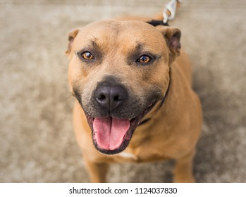 A beautiful brown and blue / grey Pit Bull mix dog looks up at the camera, at the animal shelter where he is waiting for a home