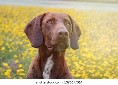 Beautiful Brown Braco German Shorthair in a bloosom meadow
