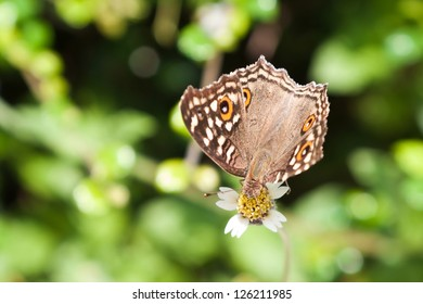 Beautiful brown butterfly with orange spots on flower (Satyridae)