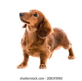Beautiful brown dog breed dachshund on white background