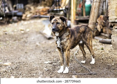 Beautiful brown dog chained outside in the yard