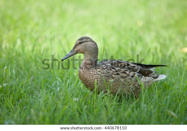 beautiful brown duck on the grass